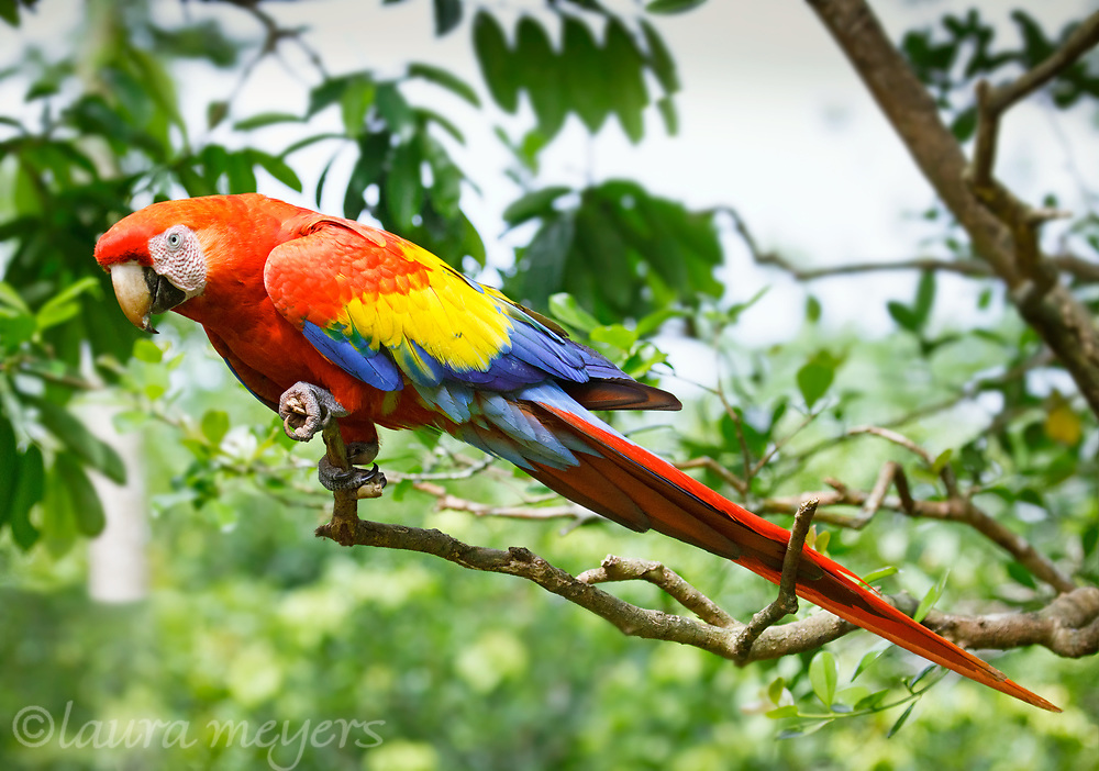Scarlet Macaw perched on a branch photographed in Costa Rica.