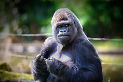 01.04.2016, Zoo, Duisburg, GER, Tiere im Zoo, im Bild Gorilla schaut waehrend des Fressens misstrauisch zu den Zoobesuchern // during visit to the Zoo. Duisburg, Germany on 2016/04/01. EXPA Pictures © 2016, PhotoCredit: EXPA/ Eibner-Pressefoto/ Hommes<br /> <br /> *****ATTENTION - OUT of GER*****