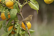 European Greenfinch (Carduelis chloris), a small passerine bird in the finch family Fringillidae. Photographed on a citrus tree in Israel in December