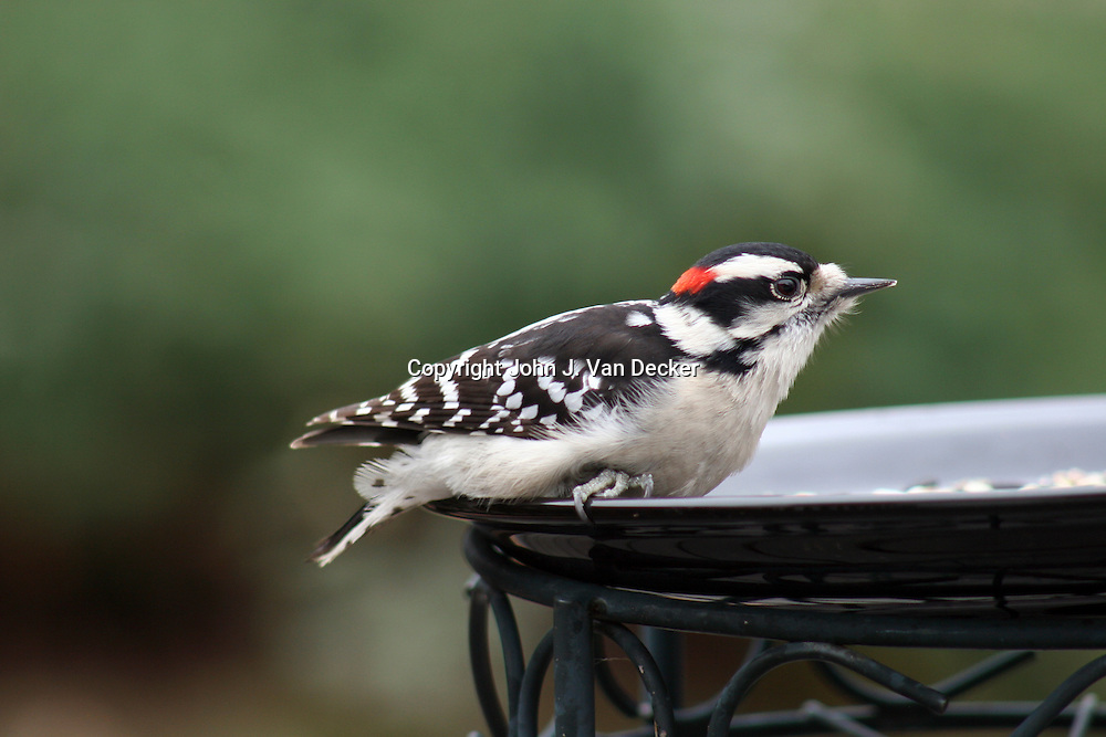Downy Woodpecker, Picoides pubescens, male, at feeder plate