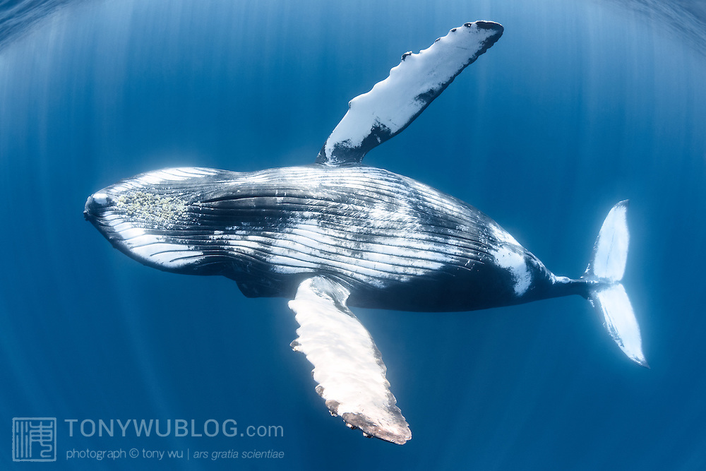 This is the first verified record of a living humpback whale (Megaptera novaeangliae) in the waters of Sri Lanka. This juvenile male was eight to nine meters in length and alone, sighted south of Mirissa. The whale traveled past Dondra Head and headed east along the coast. A comparison of the fluke with records the non-migratory humpback population in Oman did not result in a match. There is no obvious place where this humpback whale could have come from or have been going to.