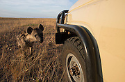 The Hyenas or 'Chimbwe' as they are called in Zambia were very curious and would often come to the filming vehicle to chew the tyres or bend the number plate!