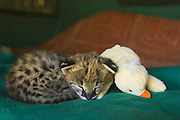 Serval <br /> Felis serval<br /> Two week old orphan kitten, ears just starting to open, sleeping with plush toy duck<br /> Masai Mara Reserve, Kenya