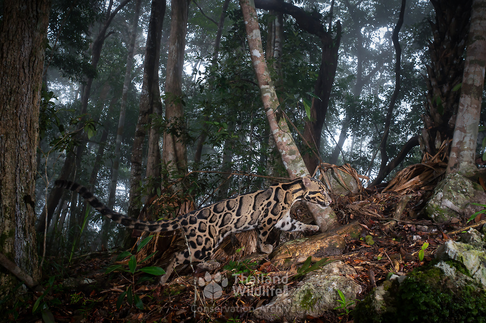 Clouded leopards dwell in the cloud forests of Southeast Asia and are one of the most ancient cat species. However, they are neither a true great cat nor a true small cat, because they cannot roar or purr. Poaching and habitat loss threaten this vulnerable species.