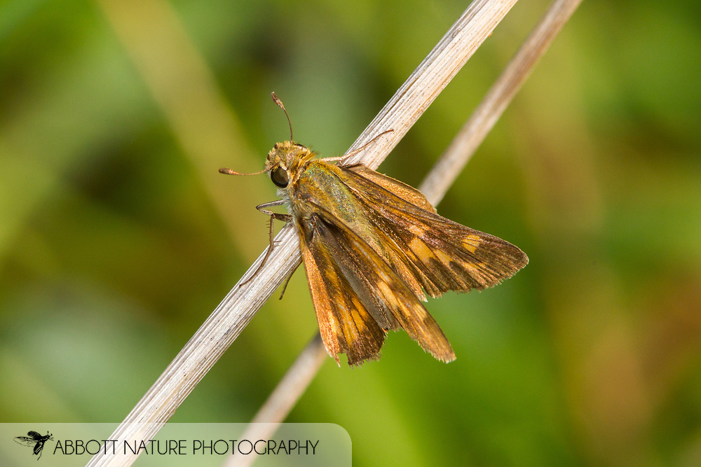 Fiery Skipper - Hodges#4013 (Hylephila phyleus) female<br /> United States: North Carolina: Wake Co.<br /> Dorothea Dix Park<br /> Raleigh<br /> 15-Sep-2017<br /> J.C. Abbott #2986