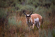 Pronghorn in Yellowstone National Park, Wyoming.