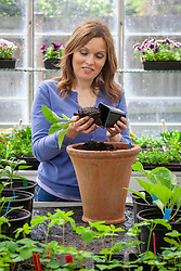 Potting on - planting aubergines into larger pots