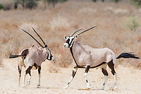 Gemsbok bull checking on cow in oestrous, Kgalagadi Tranfrontier Park, Northern Cape, South Africa