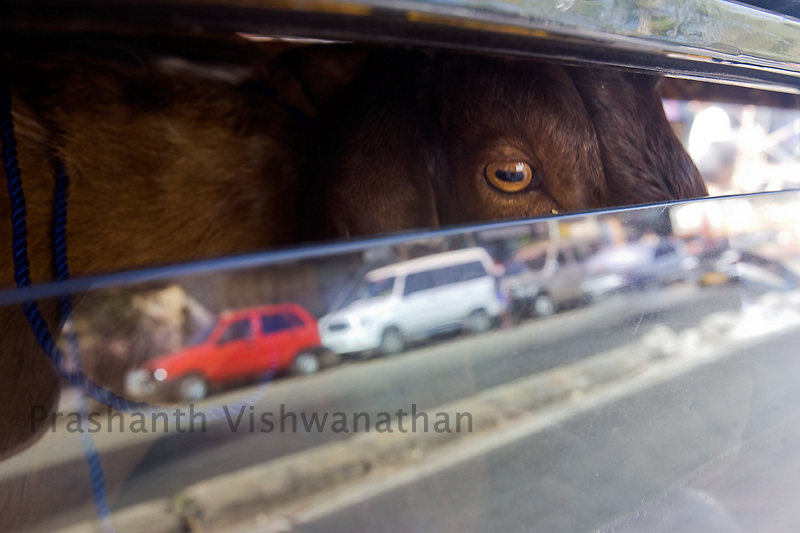 A sacrificial goat peeps through a cab at a market in Mumbai, India, 8 December 2008. Muslims around the world celebrated Eid al-Adha (the Festival of Sacrifice) by slaughtering sheep, goats, camels and cows as a commemoration of Abraham's willingness to sacrifice his son for God. Leading Islamic seminary Dar-ul-Uloom has suggested to Muslims in the country that they avoid slaughtering cows on Eid-ul-Azha as a mark of respect to the religious beliefs of Hindus.