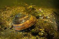 Painter's mussel (Unio pictorum) in the middle of a small tributary to old Danube. Danube Delta, Romania. It is called Painter's mussel because the shell was historically used as a conveniently sized and shaped receptacle for holding artist's paint.
