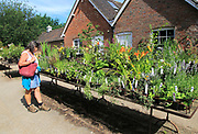 Woman examining plants for sale at Sissinghurst castle gardens, Kent, England, UK