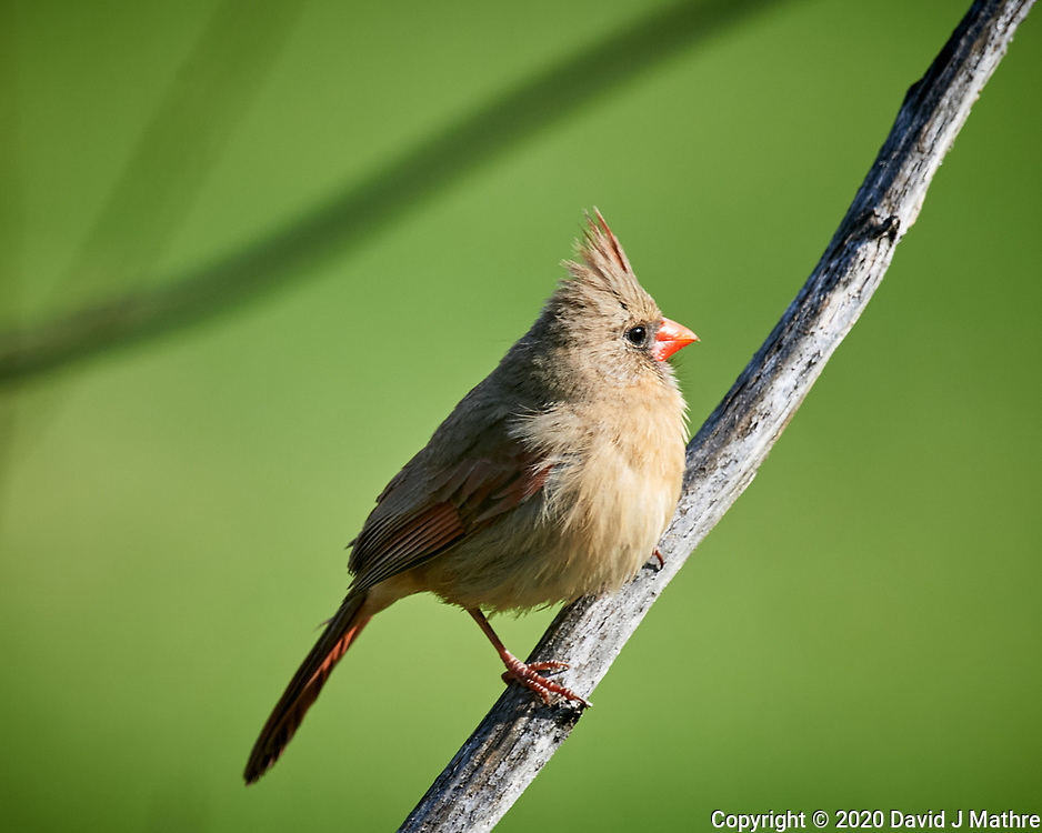 Female Northern Cardinal. Image taken with a Nikon D5 camera and 600 mm f/4 VR lens (ISO 800, 600 mm, f/5.6, 1/1250 sec)