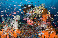 Reef fish feed in the current above Feather stars, Soft Corals, and Sponges <br /> <br /> Shot in Indonesia