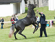 21/09/2014   Raymond Connelly from Errislannan Clifden with Bell Squire at the Connemara Pony Show 2014 in Clifden Co. Galway. Photo:Andrew Downes