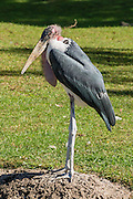 "The Marabou Stork (Leptoptilos crumeniferus) is a large wading bird in the stork family Ciconiidae. It breeds in Africa south of the Sahara, in both wet and arid habitats, often near human habitation, especially waste tips. It is sometimes called the ""undertaker bird"" due to its shape from behind: cloak-like wings and back, skinny white legs, and sometimes a large white mass of ""hair"". Indianapolis Zoo, Indianapolis, Indiana, USA."