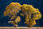 Cottonwoods during autumn in Grand Teton National Park