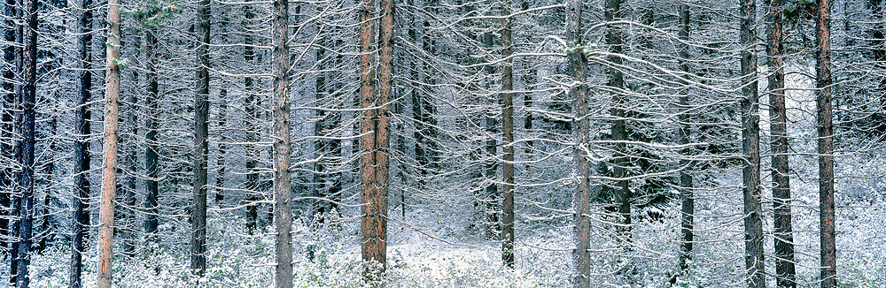An early snowfall highlights the branches of a larch forest in Peter Lougheed Provincial Park, in Alberta's Kananaskis country. ©Ric Ergenbright