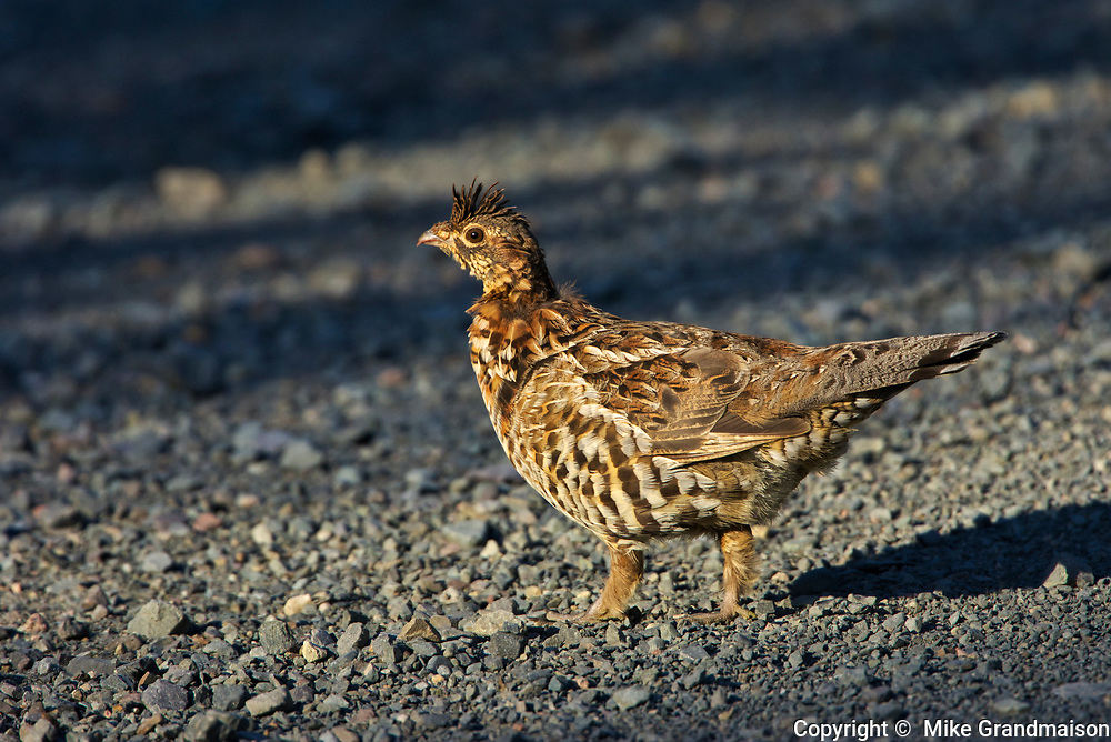 Ruffed grouse (Bonasa umbellus) on gravel road. This is a provincial park and not a true Canadian national park.<br />