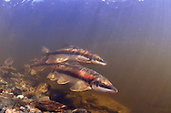 Group of Longnose Sucker<br /> <br /> Paul Vecsei/Engbretson Underwater Photography