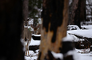 White-tailed doe with a buck following it during mating season in fall. Yaak Valley in the Purcell Mountains, northwest Montana.