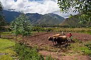 Oxen plowing, farm, Sacred Valley, Cusco Region, Urubamba Province, Machupicchu District, Peru