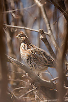 Ruffed grouse in Northern Minnesota, USA. The Ruffed Grouse, Bonasa umbellus, is a medium-sized grouse occurring in forests from the Appalachian Mountains across Canada to Alaska. It is non-migratory.