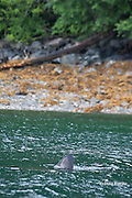 salmon shark, Lamna ditropis, finning at surface ( swimming in circles with dorsal fin exposed ) as rain falls, Port Fidalgo, Prince William Sound, Alaska, U.S.A.; this apex predator, sometimes called the Pacific porbeagle, is a mackerel shark in the order Lamniformes; it swims in cold water, but is warm-blooded ( homeothermic )