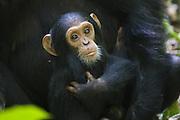 Chimpanzee <br /> Pan troglodytes<br /> One year old infant<br /> Tropical forest, Western Uganda