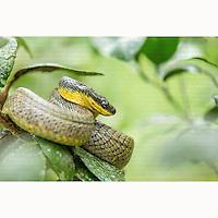 Bird-eating Snake (Pseustes poecilonotus) coiled up in bush near Boca Tapada, Costa Rica, February, 2014.