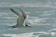 Lesser Crested Tern - Sterna bengalensis - Non breeding adult