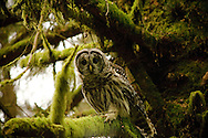 Ruler of the Trees - Barred Owl - Ecola State Park, Oregon Edition of 100 EXP0143