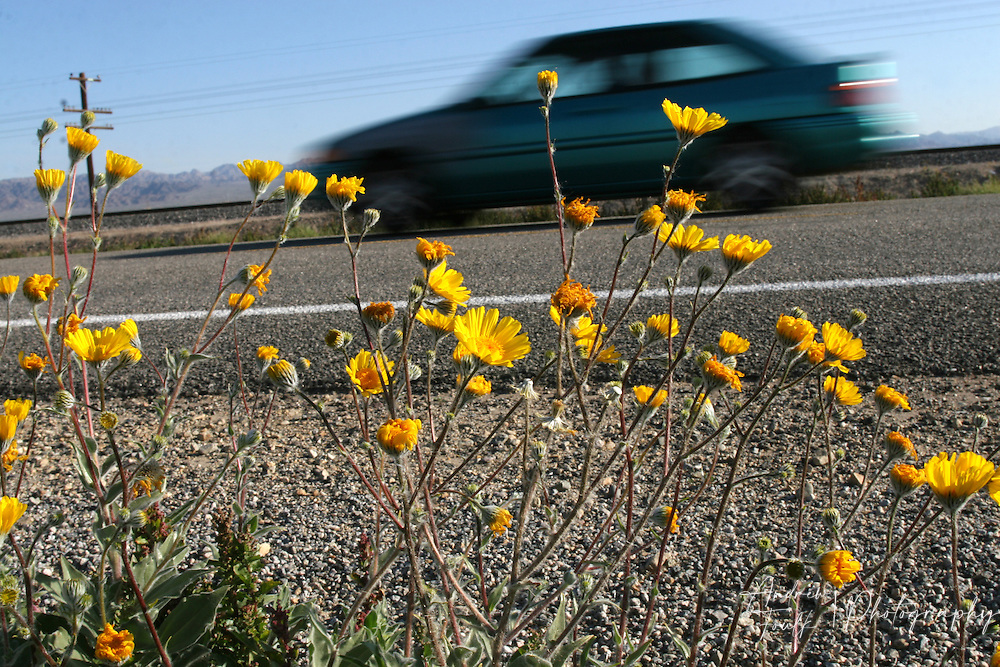 Wild flowers line the sides of highway 111 the main route on the eastern side of the Salton Sea.
