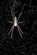 Golden Silk Spider (Nephila clavipes)<br /> Yasuni National Park, Amazon Rainforest<br /> ECUADOR. South America<br /> HABITAT & RANGE: