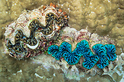 Boring Giant clams (tridacna crocea) embedded in coral on tropical coral reef - Agincourt reef, Great Barrier Reef, Queensland, Australia.