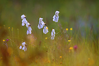 broad-leaved cotton-grass (Eriophorum latifolium), the Carpathians; Carpathian Mountains; Bieszczady Mountains; Poland