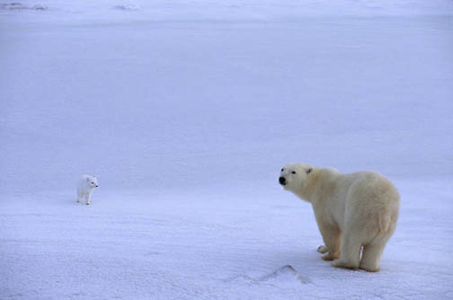 Polar Bear, (Ursus maritimus) With Arctic fox. Churchill, Manitoba. Canada.