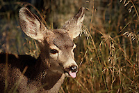 I was on my way out of Inglewood Bird Sanctuary when a doe and two fawns crossed the path in front of me.  The fawns were very cute and they were happy to show me how they felt about me...©2009, Sean Phillips.http://www.Sean-Phillips.com