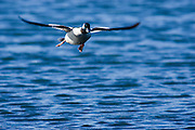 A Bufflehead Drake in flight.