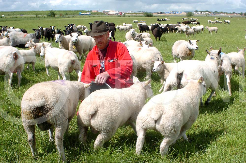060530, zuidwolde, ned<br /> Boer Withaar bij zijn schapen.<br /> Schapen met gecoupeerde staarten.<br /> fotografie frank uijlenbroek&copy;2006 frank uijlenbroek