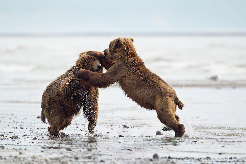 Alaskan brown bear sub-adults fighting in Lake Clark National Park