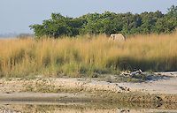 View of a wild bull elephant feeding in grassland on the banks of the Karnali River, Bardia National Park, Nepal