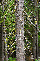 A detail view of a Sitka Spruce with moss and lichen hanging from it's branches.  Washington Cascades, USA.