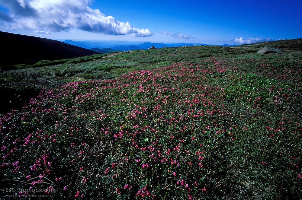 Southern Presidentials. Appalachian Trail. Alpine vegetation- pale laurel (kalmia polifolia)on Crawford Path by Mt Monroe  White Mountain N.F., NH