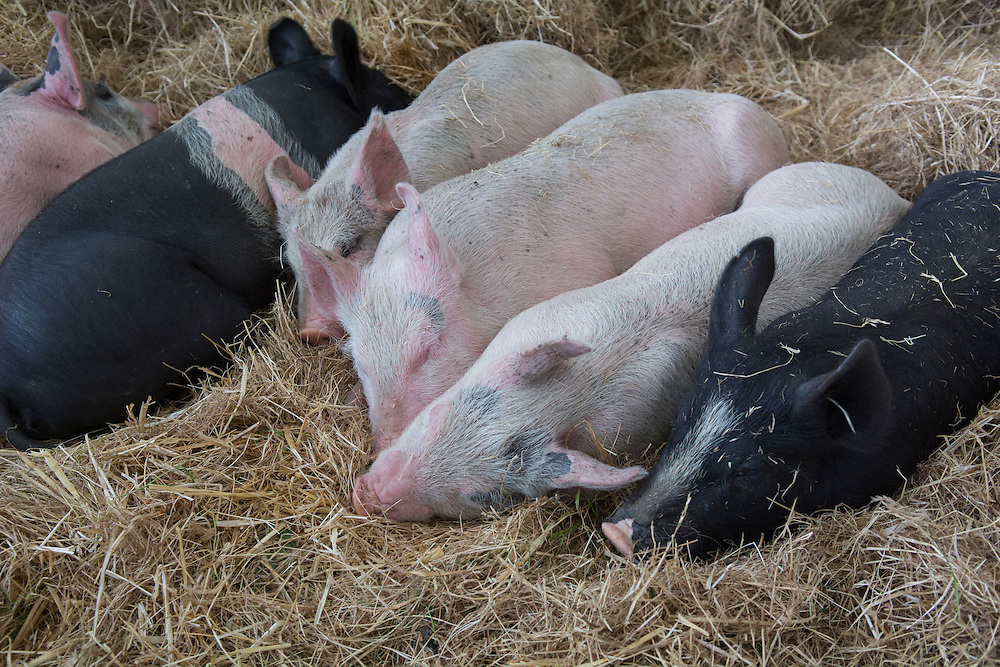 Piglets take a nap at the Canterbury A&P Show, Christchurch, New Zealand, November 11, 2015. Credit: SNPA /  David Alexander.