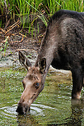 A Cow Moose in Grand Teton National Park