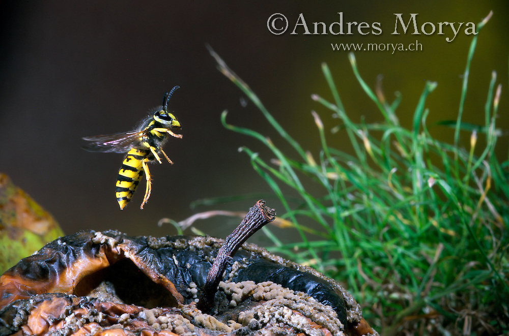 Insects in flight, high speed photographic technique, flying, wings, motion, insect Image by Andres Morya