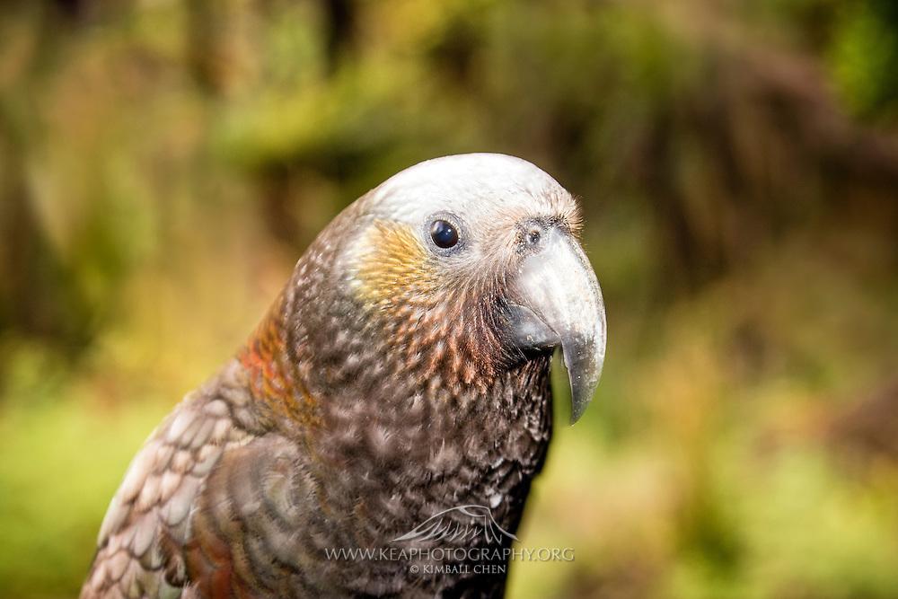 Kaka parrot portrait, Stewart Island