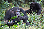 Male chimp, Kalema, is photographed at the Ngamba Island Chimpanzee Sanctuary in Lake Victoria, Uganda.  Kalema is a happy and playful individual when among the younger chimps, although he is the biggest in the group. He doesn't enjoy the rough and tumble of the older males. He can be quite shy and is often seen sitting and observing the activity around him from a distance. 03/15 Julia Cumes/IFAW