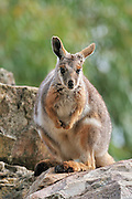 yellow-footed rock-wallaby Kangaroo in a zoo