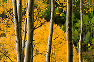 Changing leaves and fall colors after a rain storm in Independence Pass near Aspen, Colorado